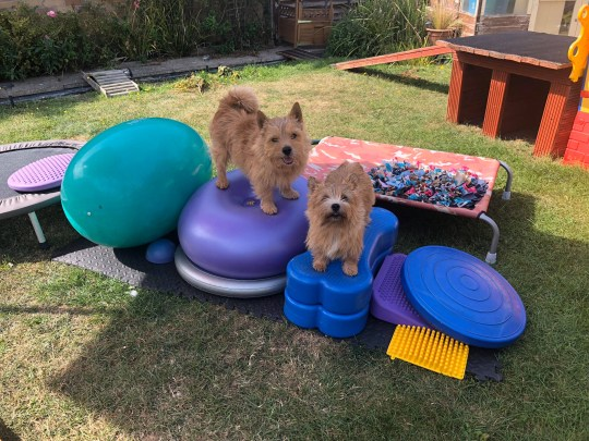 Two dogs on the obstacle course