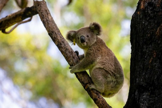 Anwen the koala in a tree