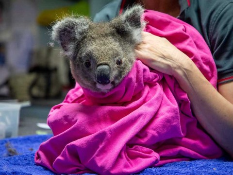 Watch as koala who survived the Australia bushfires is released back into the wild