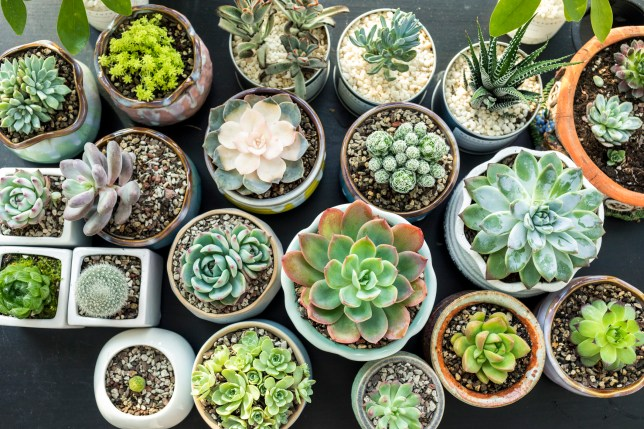 Succulent plants seen from above, placed on a black table