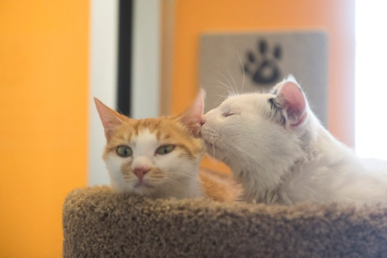 Yulu and Huru, the two cats who were rescued from a slaughterhouse in Yulin, China, rest in their kennel