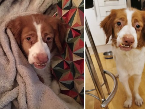 'Evil minion' dog rejected due to underbite, wonky nose, and wobbly legs finally finds loving home