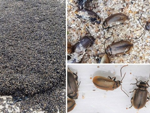 Mystery as millions of bugs swarm over beach in Yorkshire