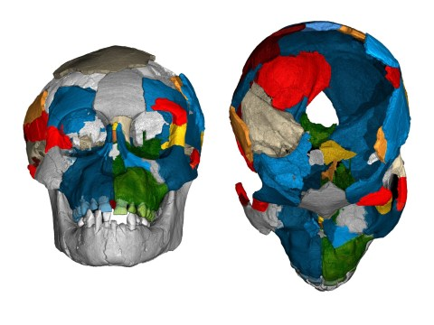 Human ancestors had ape-sized brains, new research shows