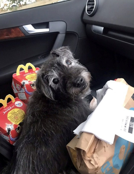 *** EMBARGOED TILL 14:00 GMT 10/04/2020 NO ONLINE USE TILL THEN*** Titch - one of the oldest dogs in Britain who survives on a diet of fast food and Netflix. See SWNS story SWSYdog. Meet the dog on course to become Britain's oldest - thanks to a diet of McDonald's and Netflix. Pampered pooch Titch has just turned 20 - around 100 in human years - just a year behind the oldest pooch in the UK. But despite his OAP status he loves nothing more than a Maccy D's and watching a boxset on the sofa. He scoffs McDonald?s around once a week always enjoying a chicken nugget Happy Meal with a burger on the side - and no gherkin.