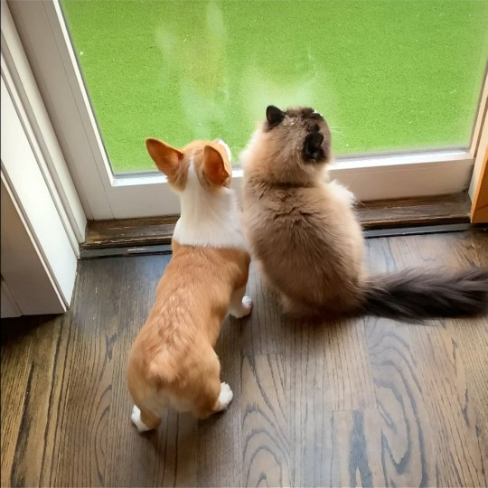 Video grab of the evolving friendship between Gilbert the cat and Lucy the puppy?s evolving relationship as they go through quarantine together. See SWNS story SWNYcatdog. Watch as Gilbert and Lucy, a cat and puppy duo, go from mere acquaintances to best friends during quarantine. When Gilbert, a three-year-old ragdoll, was introduced to Lucy, a three-month-old corgi, the two began playing immediately. ?Gilbert, grew up roughhousing with a dog,? said their owner Adam Kopley, 34, of Chicago, Illinois. ?As soon as Lucy came home, he watched her for like 30 minutes. Since then, they?ve been playing nonstop.?