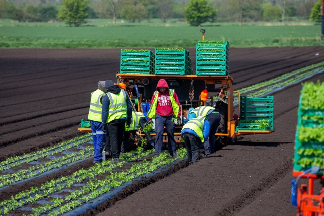 Farm workers plant celery in Ely