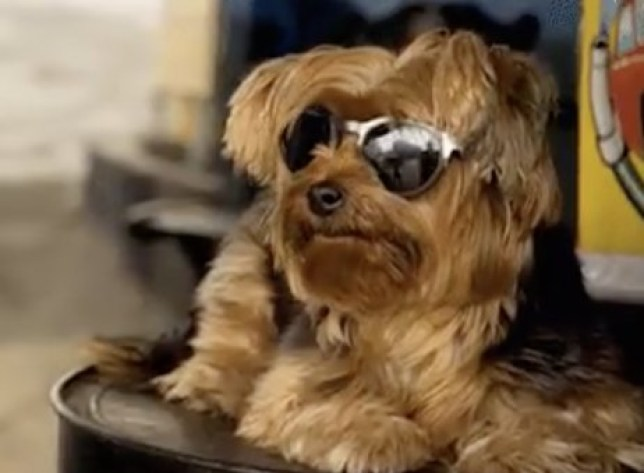 Race Across The World dog in sunglasses