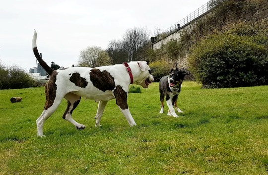 A bouncy bulldog and a young, blind collie have struck up an unlikely friendship after the gentle giant took it upon herself to act as the pup?s ?guide dog?. See SWNS story SWLEdogs. Two-year-old American bulldog Sheeva arrived at the RSPCA?s Halifax, Huddersfield, Bradford and District branch in December after her owner had been evicted. Six-month-old border collie pup Paddy arrived at the centre in February when his owners? circumstances changed and they were struggling to cope with his blindness.