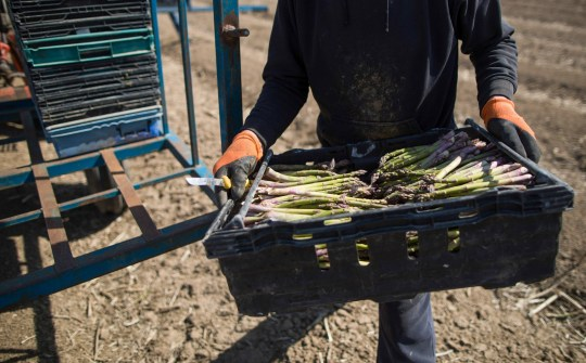 An agricultural worker carries a tub of freshly harvested asparagus to a field on a Minster farm near Ramsgate, UK, Wednesday April 15, 2020. Almost all British seasonal agricultural workers travel from abroad every year - a something they might find impossible because travel is restricted and airlines block flights. Photographer: Chris Ratcliffe / Bloomberg via Getty Images