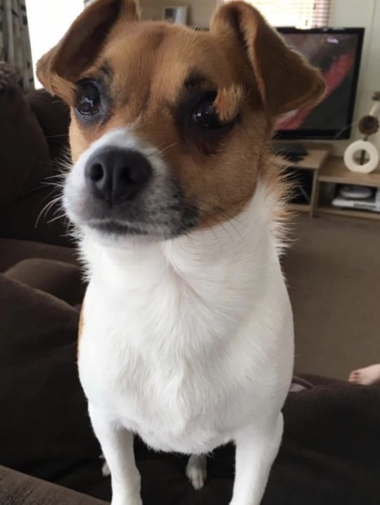 Frankie the Jack Russell cross Papillon has hair growing through his eyes