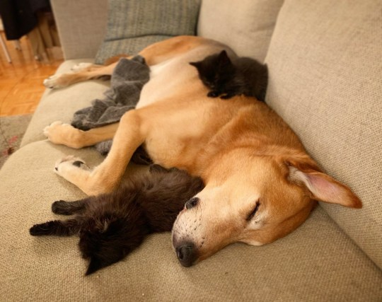 Raylan the nine-year-old Shepherd mix nurturing and caring for cats