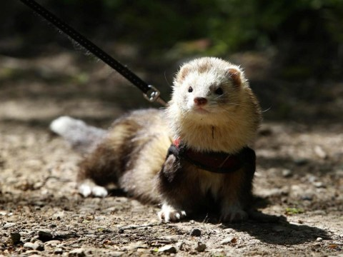 A ferret is raising hundreds for charity by running a marathon