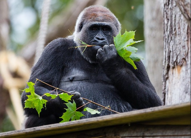 A Western Lowland Gorilla at London Zoo, which faces closing due to coronavirus