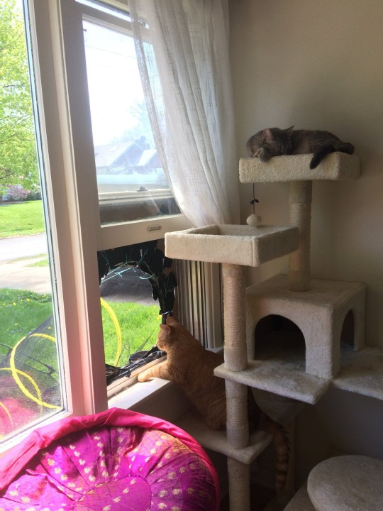 Cats Archie and Toonie looking at the entrance to their DIY kitty chute