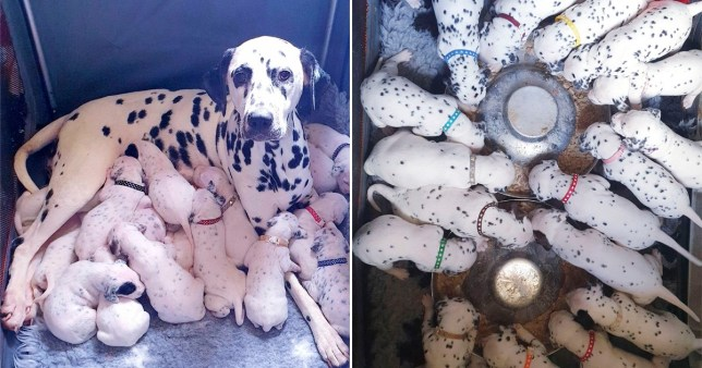 Dalmatian and her little of 18 puppies