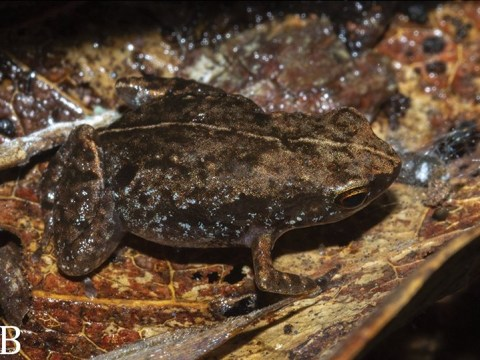 New species of frog discovered and it's already critically endangered