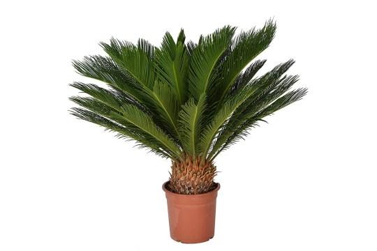 sago palm common houseplant