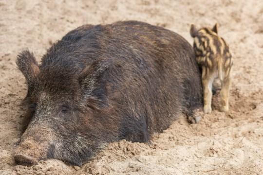Un gros sanglier femelle avec sa progéniture dort confortablement dans la boue.