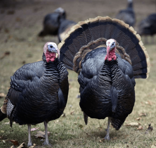 File photo of wild turkeys