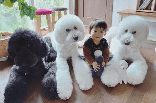 Giant poodles with dog