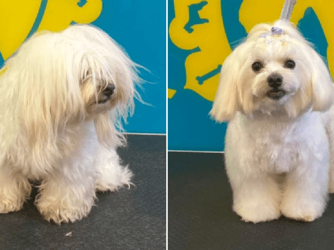 Take a look at these happy dogs before and after their much-needed haircuts