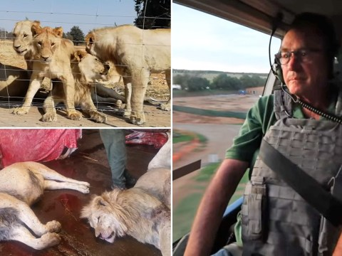 Lions bred in South Africa for their bones to be used in Far East for traditional medicine