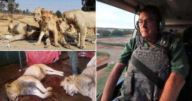 An undercover investigation found thousands of lions are bred in captivity in South Africa for their bones