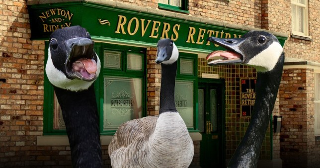Geese are determined to halt Coronation Street filming