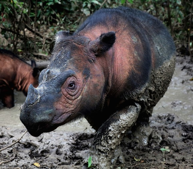 The Sumatran rhino is one of the most endangered mammals on Earth. (Credits: PA)