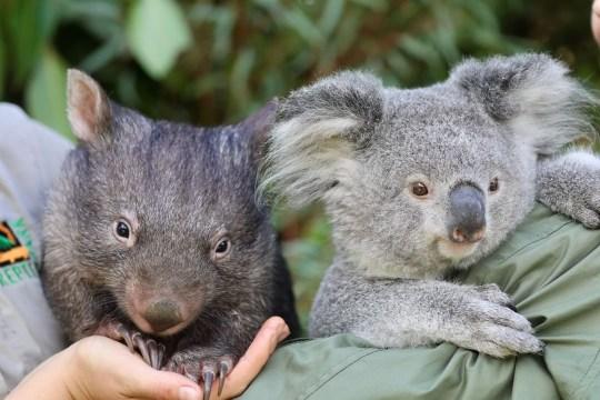 koala and wombat at Australian zoo