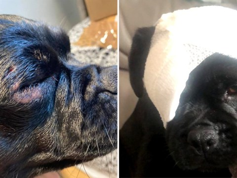 Pug attacked in the park by another dog 'could have lost an eye'