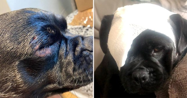 Pug attacked in the park