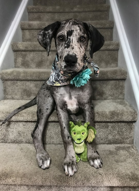 This heart warming set of images shows an adorable Great Dane who has grown up with his faithful favourite toy by his side. Elliot Mae is 3-year-old Merle Great Dane who lives with her family in Denver, Colorado. See SWNS story SWBRdragon; Elliott was named after a character from the Disney film ???Pete???s Dragon??? and she has had her favourite toy dragon also named Eliott her entire life.The amazing image set shows Eliott Mae and her favourite dragon growing up together from 2017 all the way up to 2020.