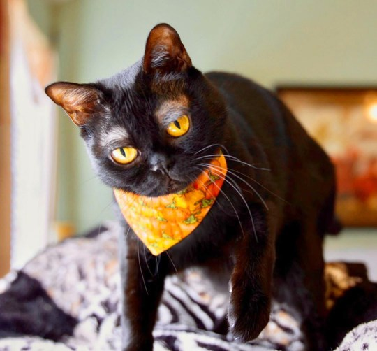 Cornelius the cat with white eyebrows standing and posing for the camera, while wearing an orange scarf.