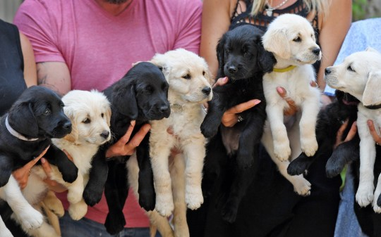 BNPS.co.uk (01202 558833) Pic: BNPS A British couple who saved an unwanted dog from 'death row' in a Serbian kennels got more than they bargained for after she unexpectedly gave birth to 12 puppies. Audrey Hampshire and partner Maynard Dockerty agreed to rescue eight-month-old Boo after reading on Facebook that she was waiting to be put down. Boo, a Labrador-retriever cross, was transported across Europe and arrived with the couple shortly before lockdown. They worried they were over-feeding Boo when she soon began piling on weight before a scan at a vets revealed she was pregnant. She has since given birth to 12 puppies.