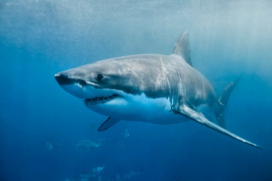A great white shark swimming with a slight smile on its face just below the surface. The environment is the deep blue ocean. The shark looks to be in hunting mode.
