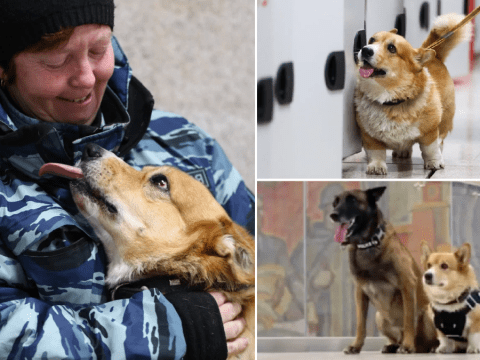Corgi police dog retires after seven years sniffing out crime