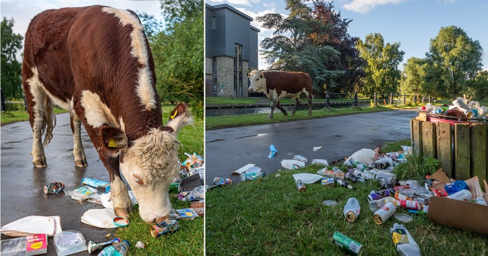 Cows were seen picking through rubbish left after 'Super Saturday'