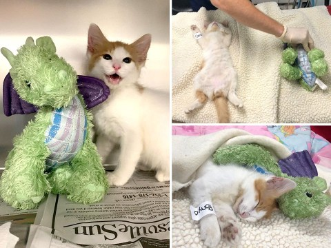 Rescue kitten has surgery with stuffed dragon by his side for support