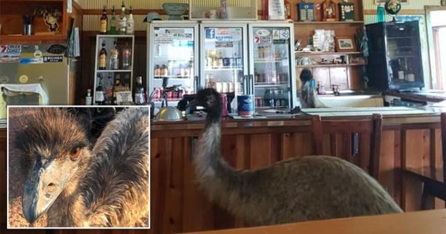 Emus in Australian pub