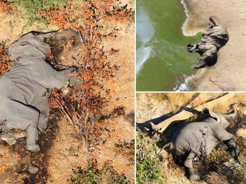 Hundreds of elephants drop dead in mysterious 'mass die-off'