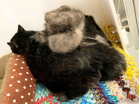 Cat who was so overweight he couldn't clean himself gets rescued by RSPCA