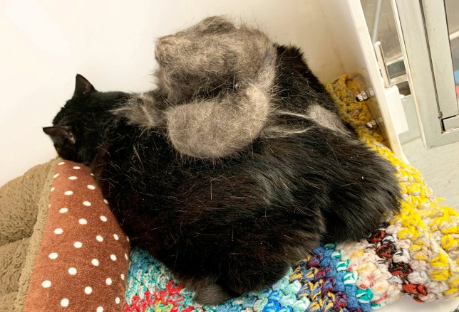 Lucky before treatment, when he was severely overweight and had a mass of matted hair on his back