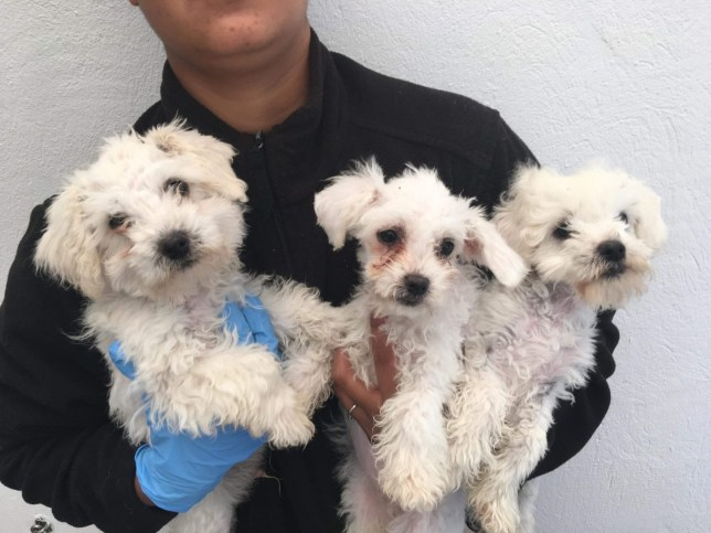 The puppies were seized at Dover port during lockdown, having been illegally imported from Romania despite the coronavirus lockdown restrictions in the UK preventing non-essential travel. The puppies were found in an appalling condition, drenched in oil and suffering from diarrhoea