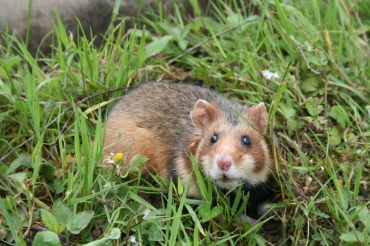 European hamsters are different from the hamsters commonly kept as house pets (Credits: PA)