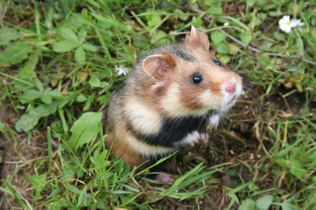 A European hamster, which is now a critically endangered species (Credits: PA)