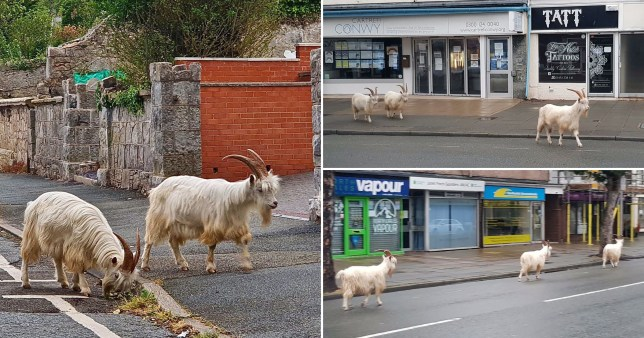 A herd of goats has been spotted taking a stroll down the deserted high street of a popular seaside resort