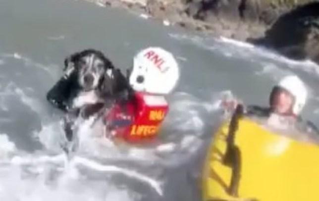 Moment lifeguards rescue dog who fell off cliff in Devon (Picture: North Devon RNLI Lifeguards)