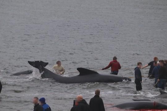 Après qu'il est apparu que le coronavirus pourrait l'empêcher d'aller de l'avant, et dans un contexte d'indignation des écologistes, la tradition de chasse à la baleine des îles Féroé a commencé cette semaine avec le meurtre de quelque 300 mammifères. L'ancien grindadrap (abattage), qui a commencé il y a plus de 1000 ans, est un pilier culturel de l'archipel, un territoire danois autonome dans les îles de l'Atlantique Nord - où la viande de baleine est un aliment de base. Mais les militants ont longtemps condamné cette pratique et l'ONG environnementale Sea Shepherd l'a fait à nouveau après que quelque 250 globicéphales noirs et quelques dauphins à flancs blancs de l'Atlantique ont été tués mercredi au large de Hvalba, un village de l'île la plus au sud de Suduroy.